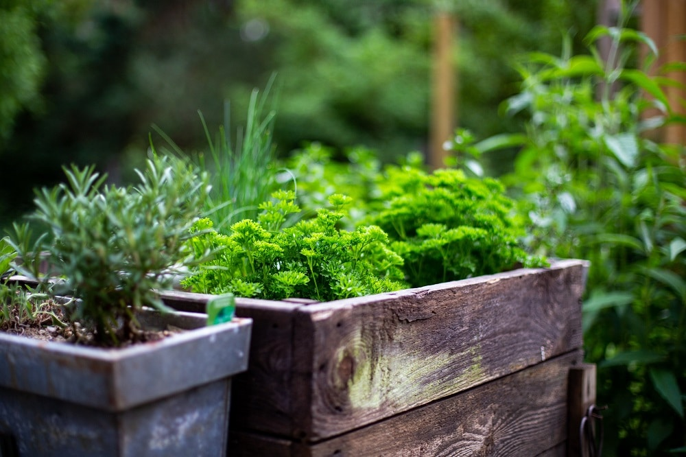 Planting vegetables and herbs