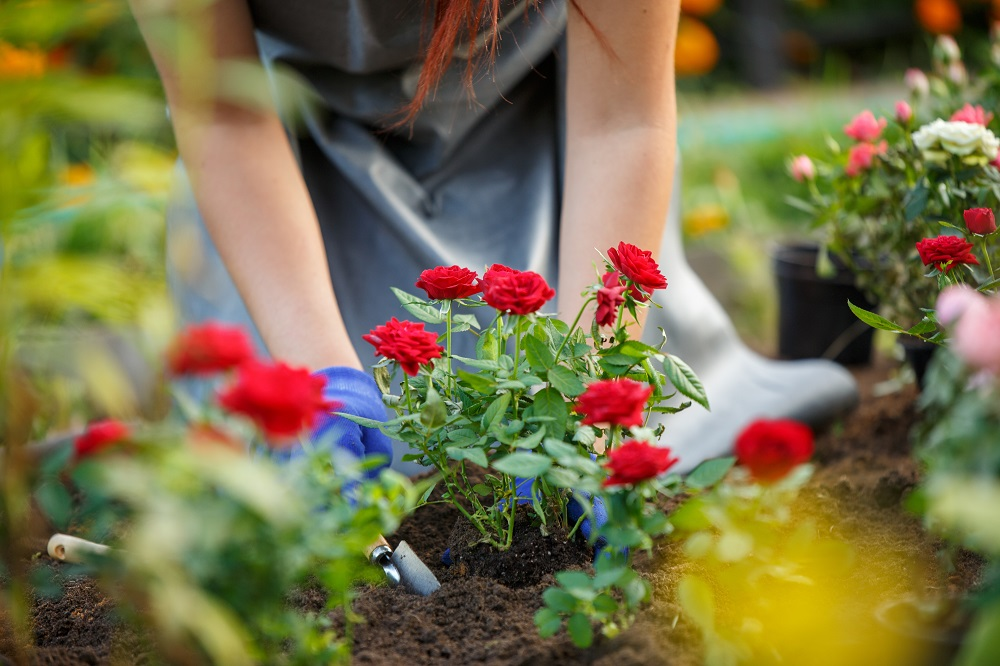 Planting Roses in Winter to Reap the Beauty in Autumn