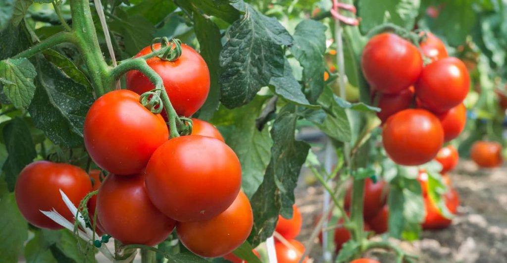 Grow Your Own Tomatoes at Home