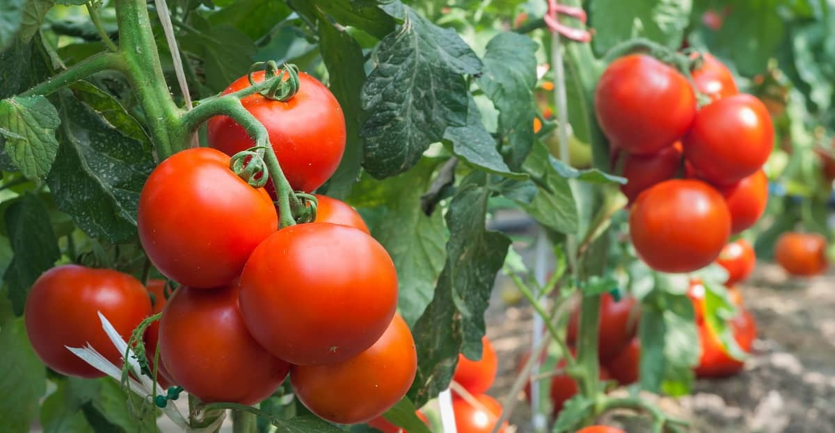 Tomatoes: Plant in the Spring and Savour the Taste all Summer Long