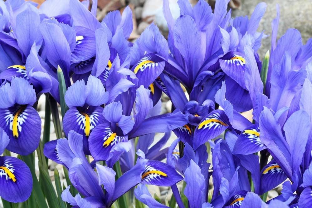 Dutch Iris Flowers