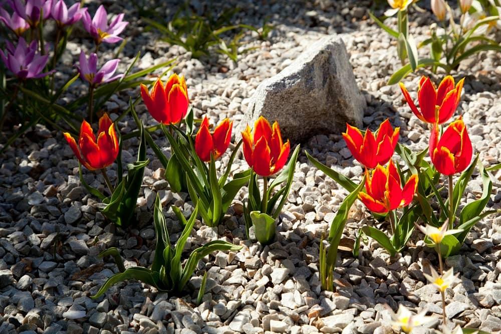 Rock Tulips