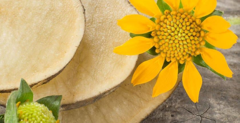 The Yacon resembles potatoes, sweet potatoes, and yams with flowering parts similar to sunflowers.